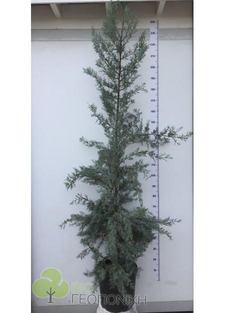 ΑΡΙΖΟΝΙΚΑ (Cupressus arizonica fastigiata) 2,50m υψος
