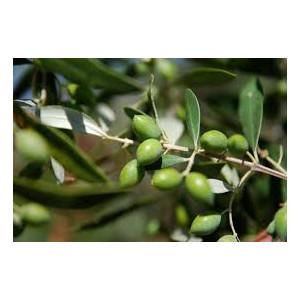 Ελαιόδενδρα